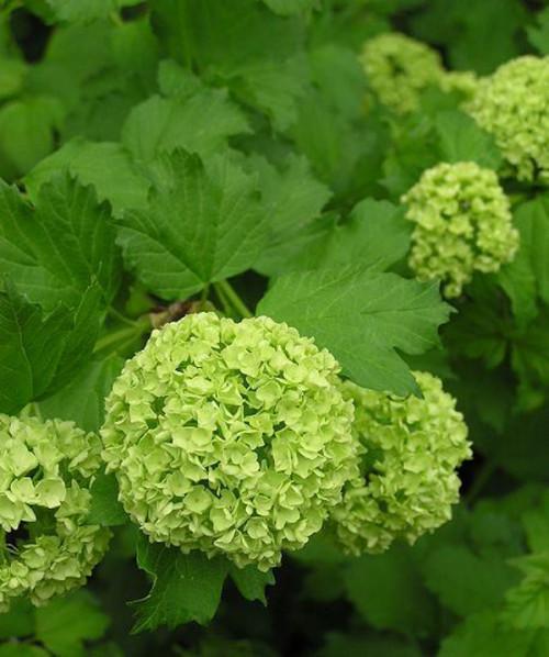 đặt vòng hoa đám tang tại quận 6 với hoa Cẩm tú cầu xanh