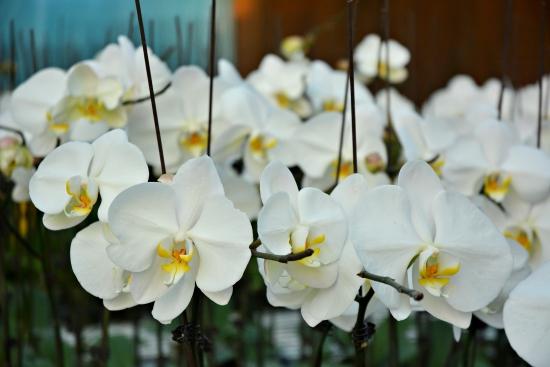 """Hoa lan Hồ Điệp cũng rất ưa chuộng trong việc thiết kế hoa tang lễ ( Nguồn ảnh từ """"qtv.vn"""")"""