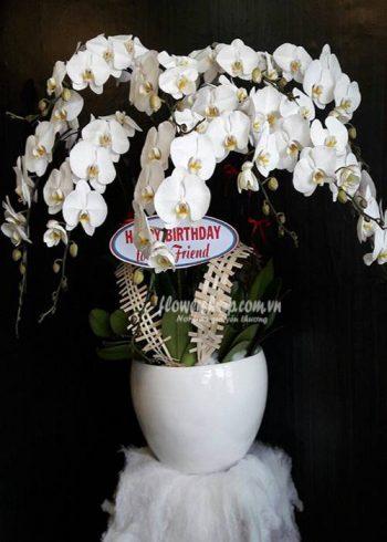hoa lan hồ điệp 16589