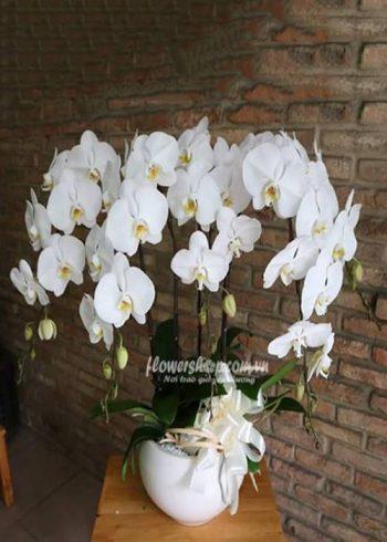 hoa lan hồ điệp 16592