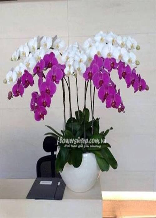 hoa lan hồ điệp 16593