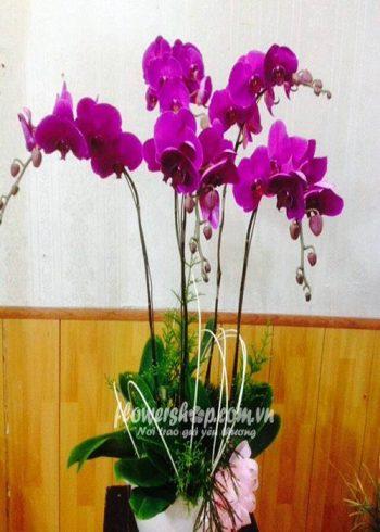 hoa lan hồ điệp 16594