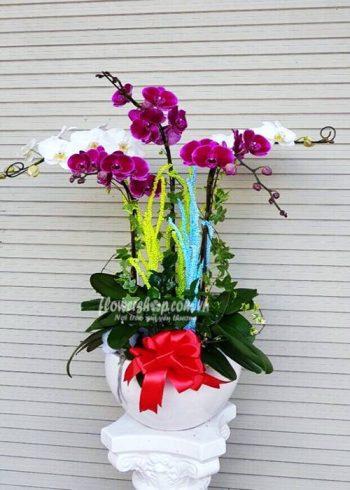 hoa lan hồ điệp 16600