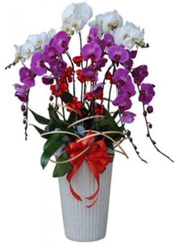 hoa lan hồ điệp 16603