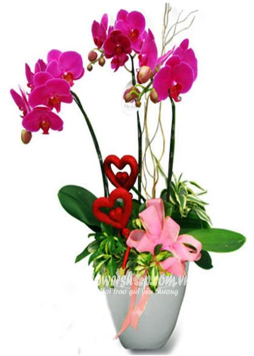 hoa lan hồ điệp 16604