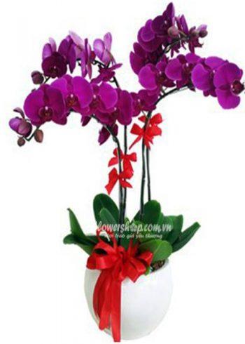 hoa lan hồ điệp 16606