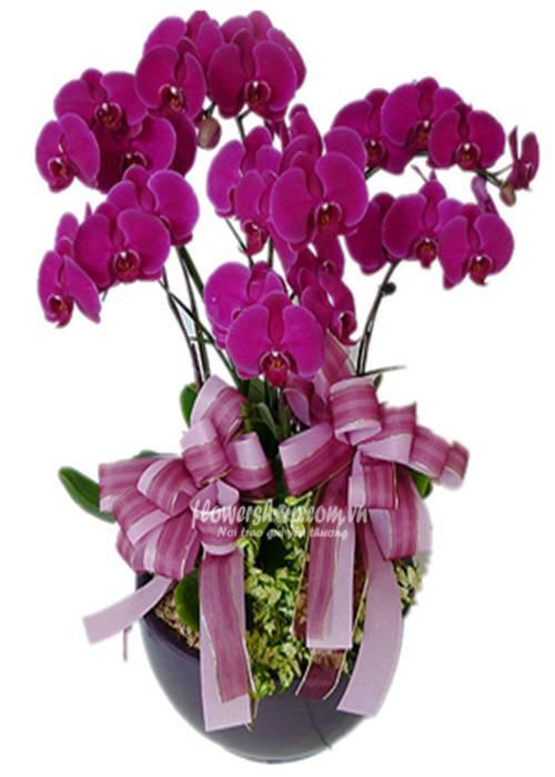 hoa lan hồ điệp 16607