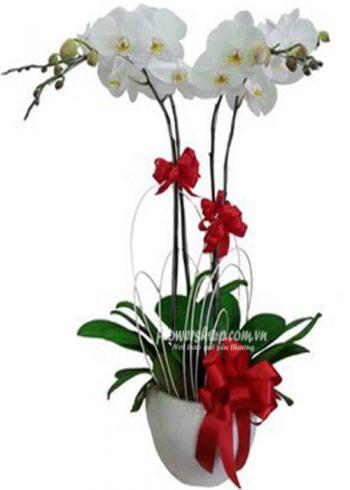 hoa lan hồ điệp 16608