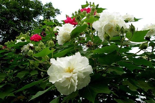 đặc điểm và ý nghĩa hoa phù dung