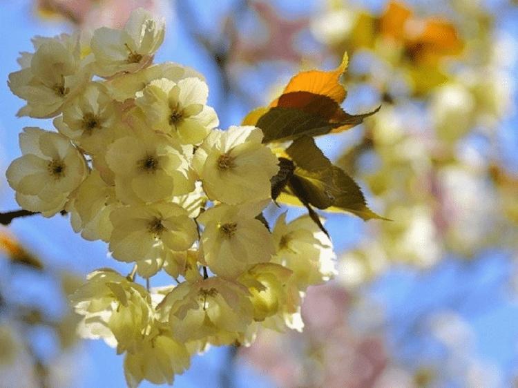 ý nghĩa hoa anh đào