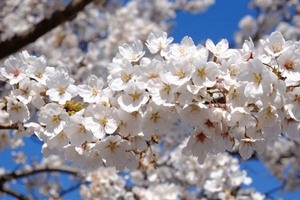 đặc điểm và ý nghĩa hoa anh đào
