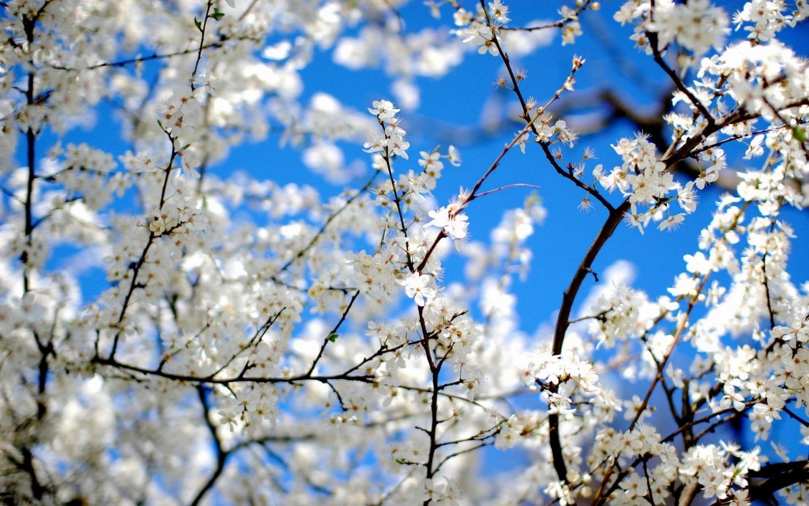 ý nghĩa hoa ban trắng