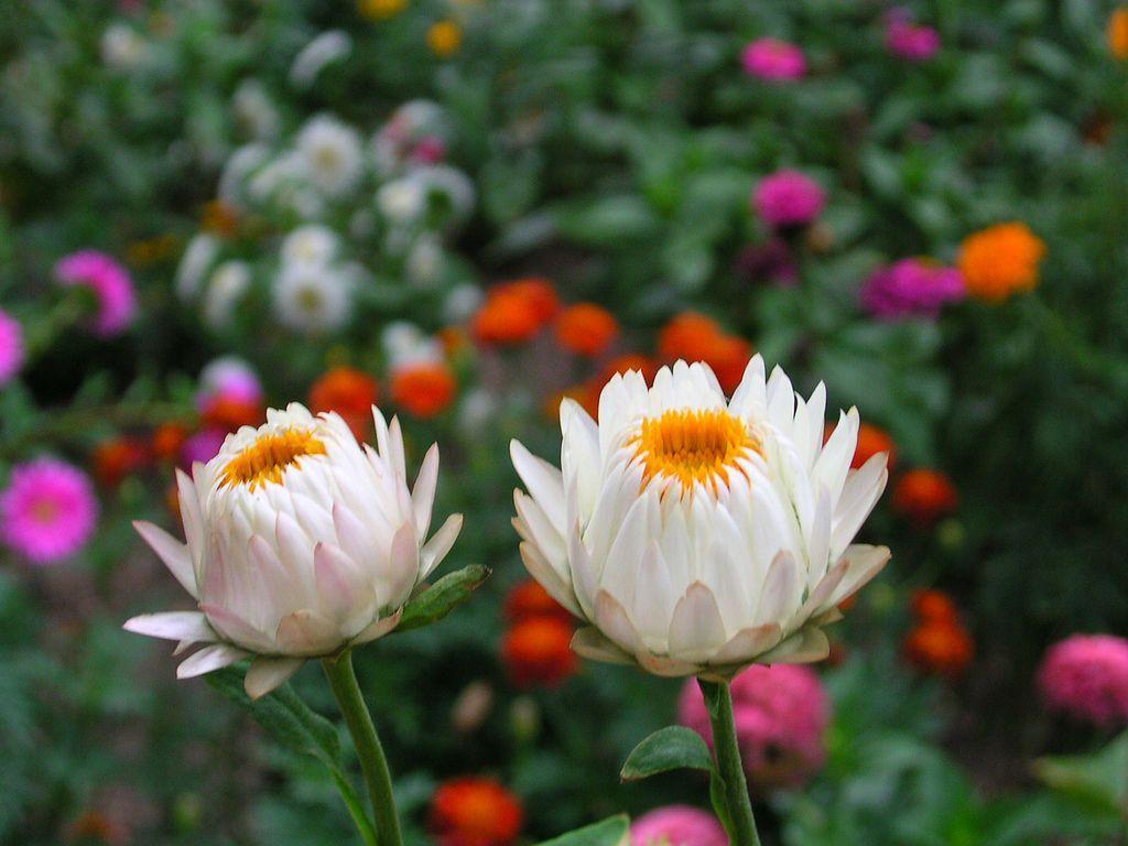 Hoa Strawflower