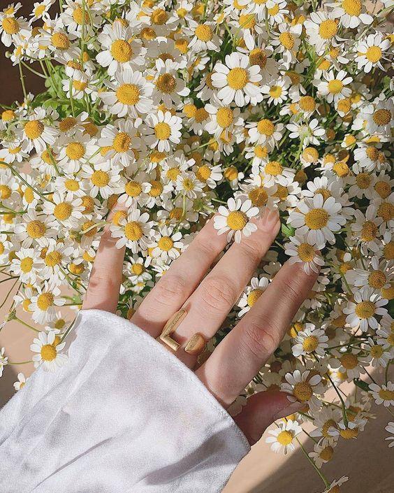 Hoa cúc họa mi