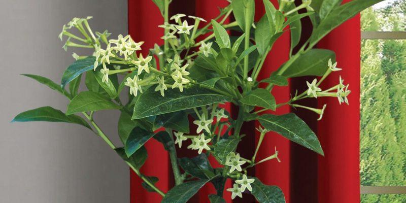 Ý nghĩa hoa dạ lý hương