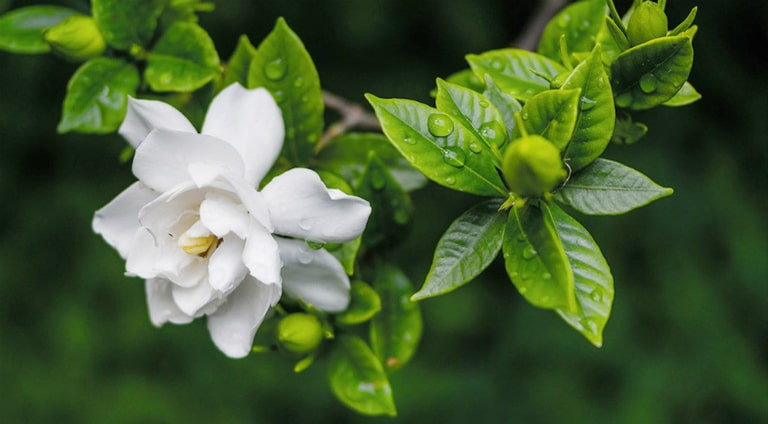 Vẻ đẹp hoa Dành Dành