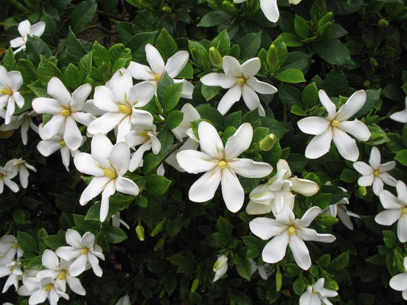 Ý nghĩa hoa Dành Dành