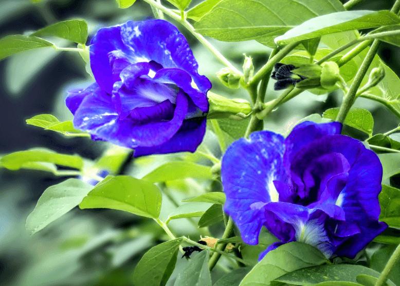 Ý nghĩa hoa đậu biếc