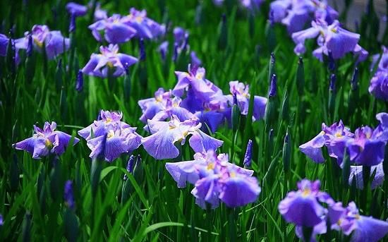 ý nghĩa hoa diên vĩ