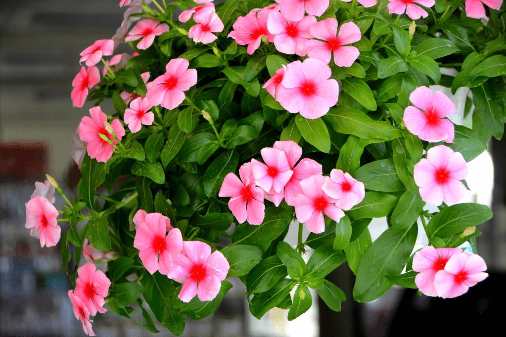 ý nghĩa hoa dừa cạn