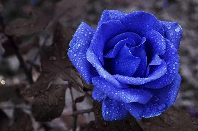 Hoa hồng xanh dương - tình yêu bất diệt