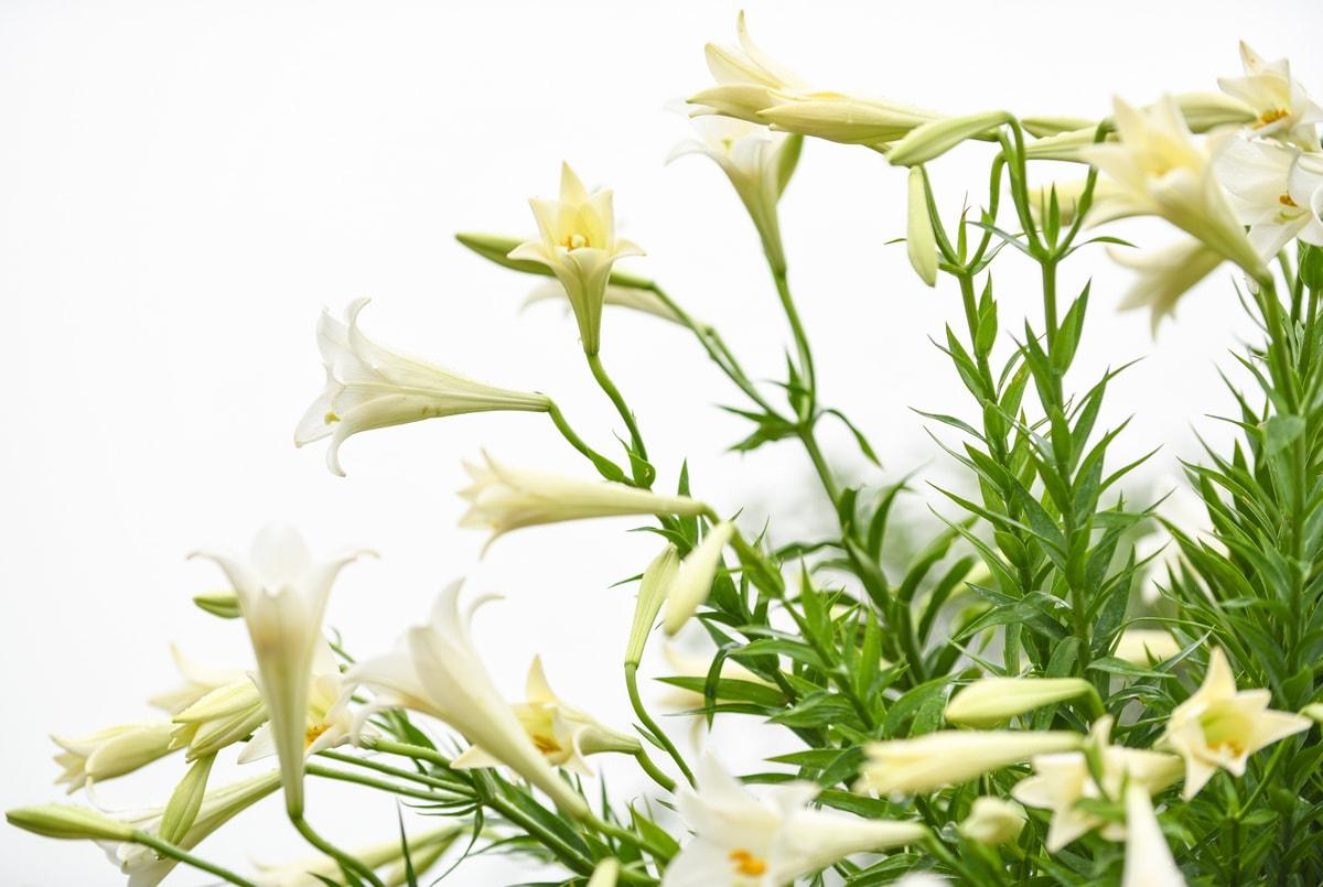 Ý nghĩa màu sắc hoa ly