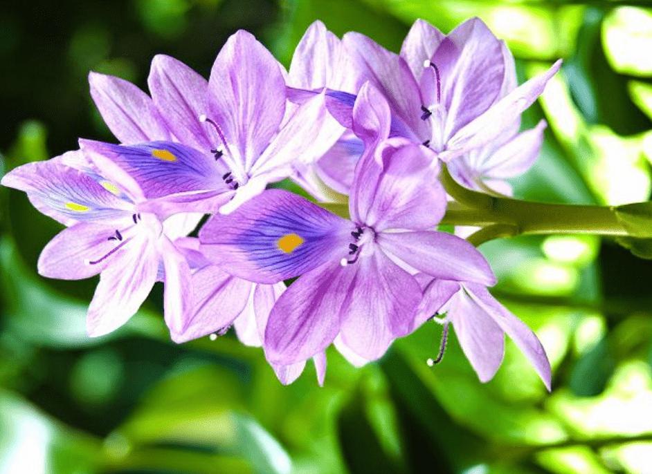 Ý nghĩa hoa lục bình