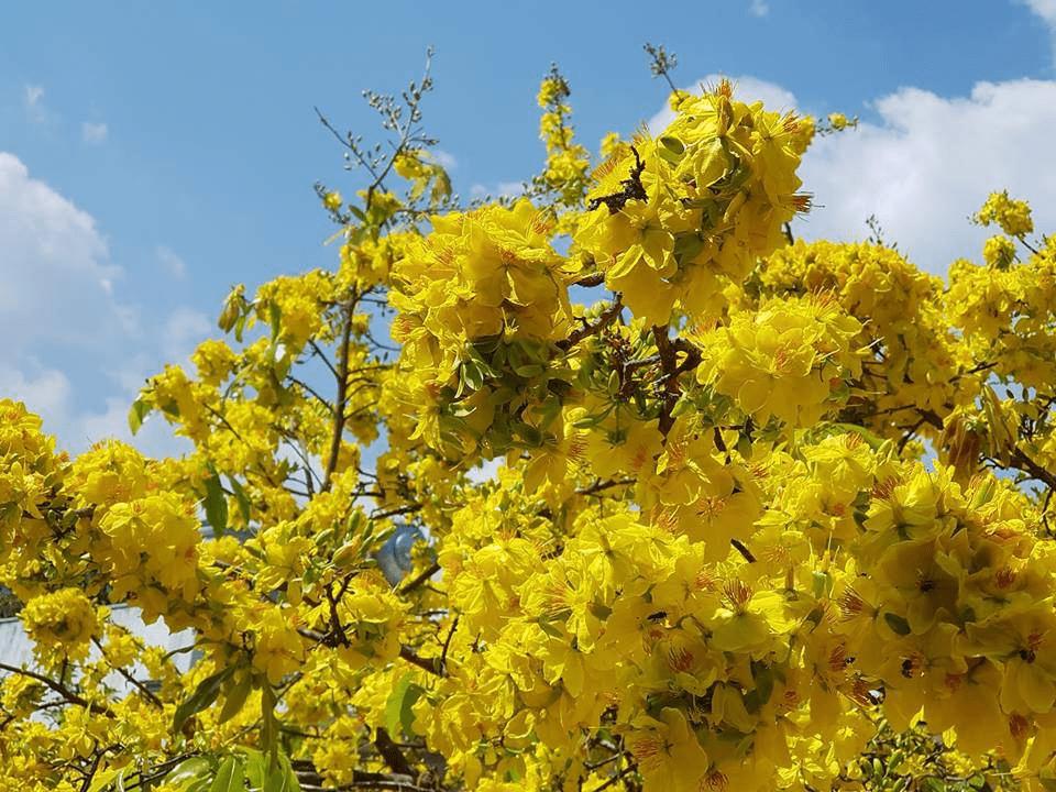 Ý nghĩa hoa mai