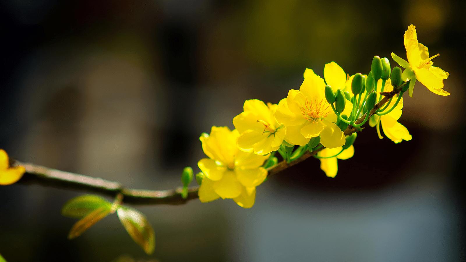 Ý nghĩa hoa lan mai