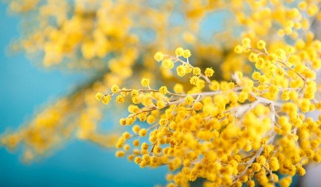 ý nghĩa hoa Mimosa