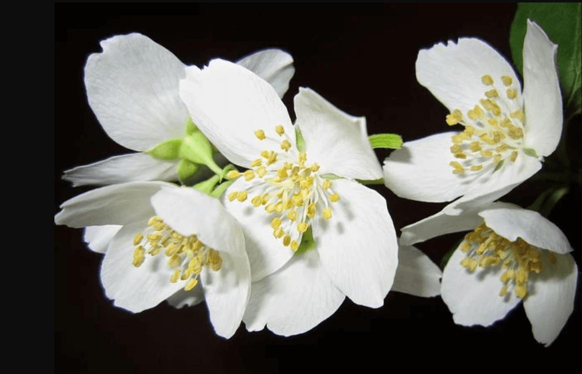 Ý nghĩa hoa nhài