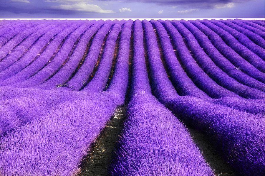 Ý nghĩa hoa oải hương Lavender