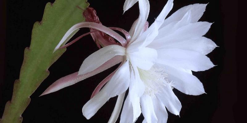 đặc điểm và ý nghĩa của hoa quỳnh - nữ hoàng bóng đêm