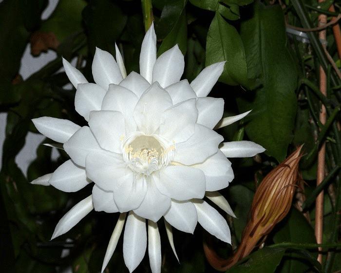 ý nghĩa hoa quỳnh - nữ hoàng bóng đêm