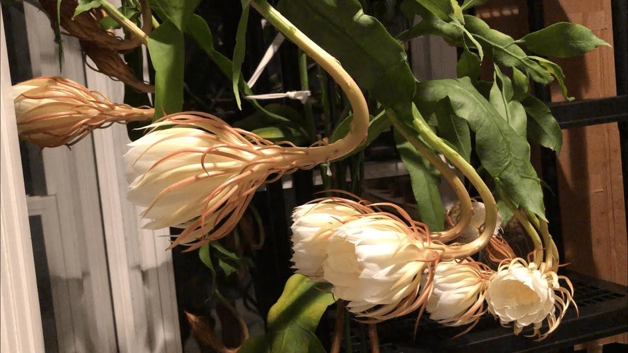 đặc điểm và ý nghĩa của hoa quỳnh