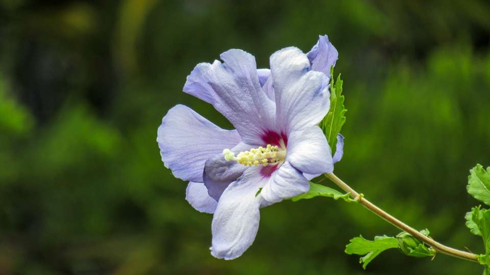 ý nghĩa hoa râm bụt