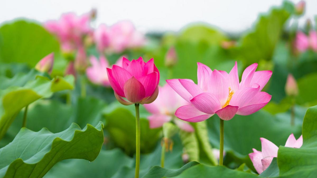 ý nghĩa hoa sen