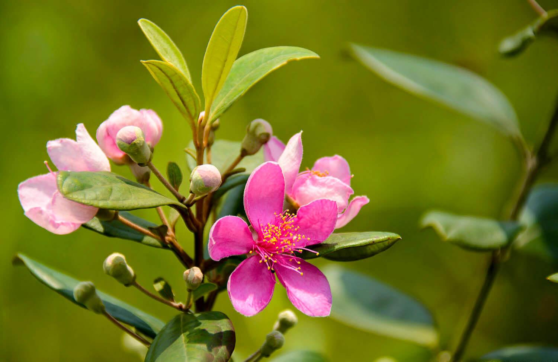 ý nghĩa hoa sim tím