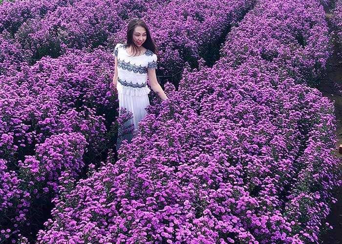 Cánh đồng hoa thạch thảo