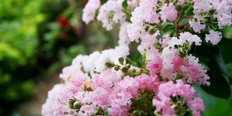 Ý nghĩa hoa tường vi