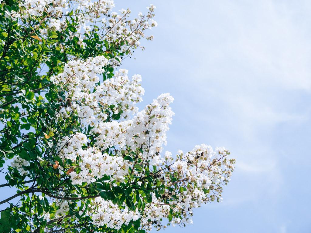 Vẻ đẹp hoa tường vi