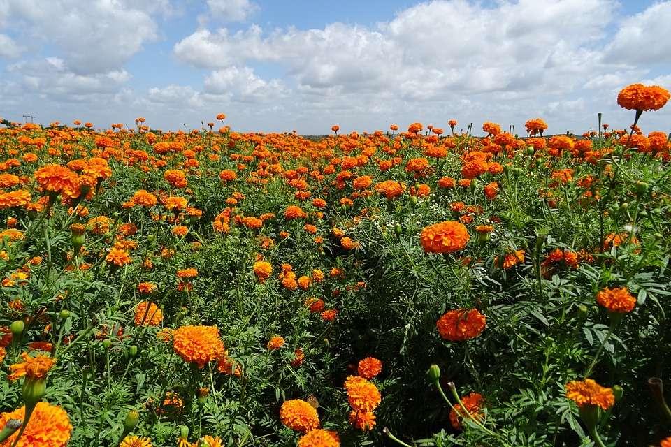 Ý nghĩa hoa vạn thọ